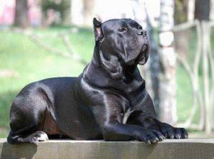 конокорс порода собак