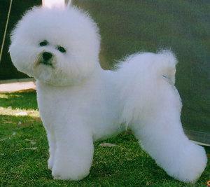 Белая собака бишон фризе