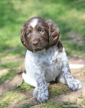 Порода немецкий курцхаар и ее описание, характеристика и уход за гладкошерстными щенками