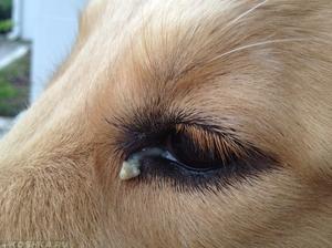 Нагноение глаз у собаки