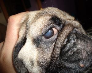 Породы собак с выделениями из глаз