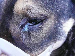 Нагноения глаз из-за вирусов