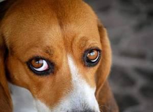 Профилактические меры для глаз собак