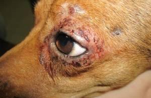 Щенок чешется, но блох нет: почему могут чесаться бока у собаки, как устранить сильный зуд и что делать