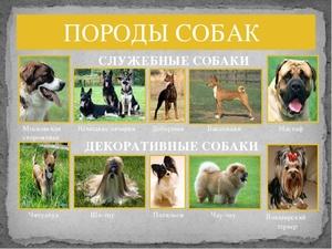 Кавказская овчарка и московская сторожевая сравнить