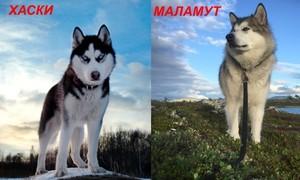 Сибирская хаски и аляскинский маламут