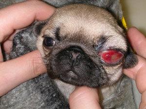 Красные глаза у собаки: причины