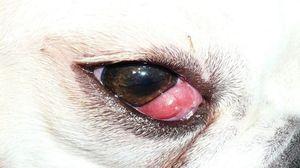 Возможные причины покраснения глаз у пса