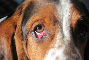 Аденома глаз у собаки