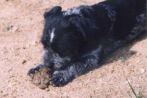 Собака ест свой кал