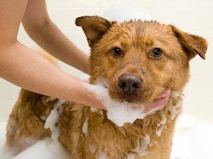 Как лечить собаку от чесоточного клеща
