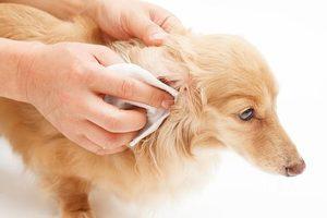 Чистка ушей собаке