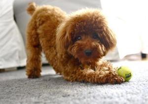 Чем кормить пуделя: выбираем корм для щенка и взрослой собаки