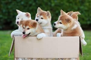 Питание щенков акита-ину