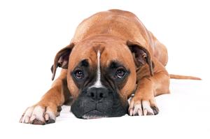 Лечение панкреатита у собаки