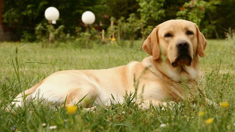 labrador retrievers The labrador retriever club is the akc parent club of the labrador retriever browse information about the lrc, the breed standard, our breeders directory, upcoming events information and more.