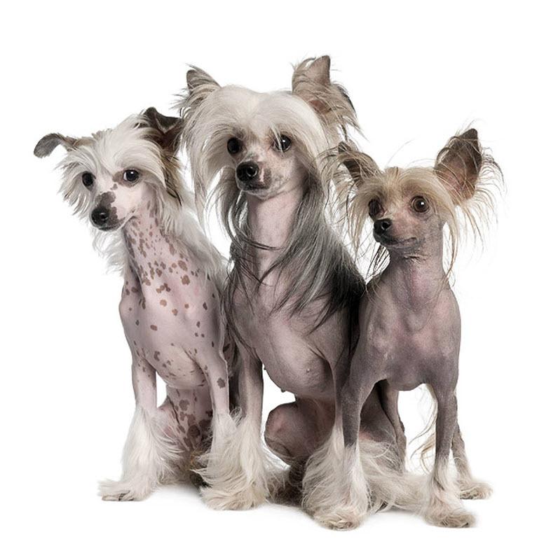 Лысая собака