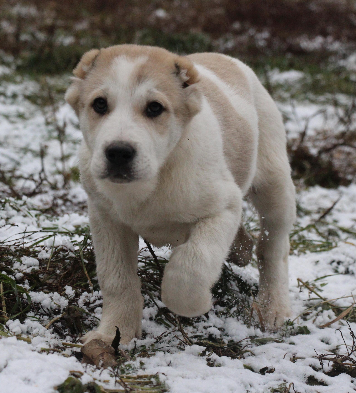 Собака с породой алабай картинки